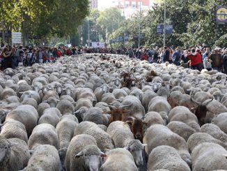 Rebaño de ovejas - Casa Campo