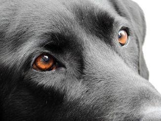 Labradores visitan el Hospital Severo Ochoa una vez al mes