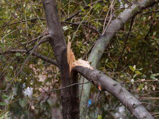 Detalle de uno de los árboles afectados por el temporal Filomena en Madrid.