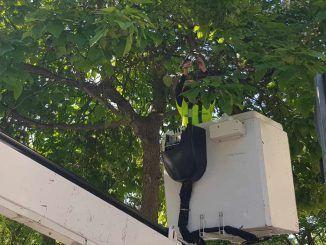 La Concejalía de Medioambiente del Ayuntamiento de Leganés continúa trabajando en acciones de control biológico para controlar y reducir las plagas de los árboles de la ciudad. De esta forma, esta mañana ha comenzado la suelta de insectos beneficiosos en un centenar de árboles de la localidad.