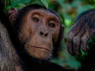 14 de julio, Día Mundial del Chimpancé